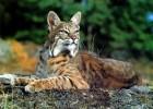 Рысь — короткохвостая кошка