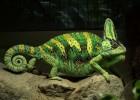 Хамелеон — многоцветная рептилия