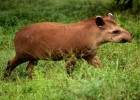 Тапир — с хоботом, но не слон