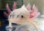 Аксолотль — подводная саламандра, которая никогда не растет