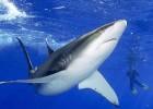 Акула — идеальный убийца из морских глубин