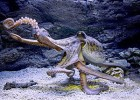 Осьминог - восьмирукий морской хищник