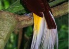Райские птицы - танцующие красотки