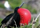 Фрегат — морская птица-разбойник