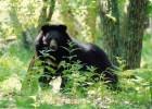 Гималайскому медведю нужна ваша помощь