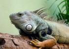 Игуана — ящерица с фамильным гребнем