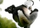 Индри — исчезающий бесхвостый лемур