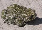 Жаба — защищается кожей