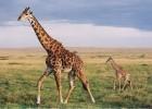 Жираф — самый высокий в мире