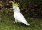 Какаду — разговорчивый попугаи