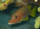 Морской окунь — рыба с прекрасным аппетитом