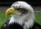Орланам-белохвостам нужна ваша помощь