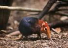 Прыгунчик — крошечный обитатель Африки