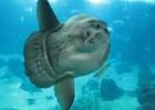 Рыба-луна — гигант, поклоняющийся солнцу
