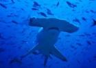 Рыба-молот — причудливая акула