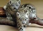 Три детеныша леопарда получают путевку в жизнь