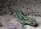 Тритон — амфибия, похожая на ящерицу