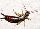 Уховертка — пугливое насекомое
