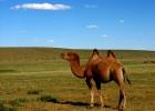 Верблюд — трудяга, который не хочет пить