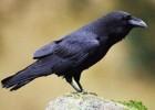 Ворон — птица, которая умеет петь и говорить