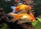 Запускаем золотую рыбку в аквариум
